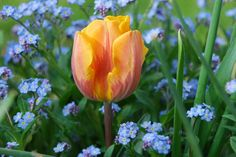 Orange and purple-flamed Tulipa 'Princess Irene' and blue forget-me-nots (Myosotis) in our Front Walk in April