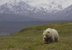 Outside of your office, there's a roaming lone bear. | 42 Wildlife Photos To Remind You There's Beauty In The World