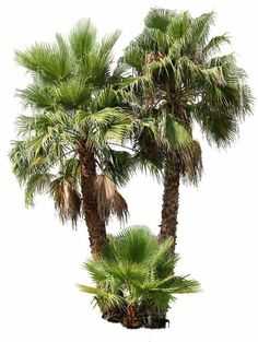 pixels PNG, with transparent background. Native to southern United States and Mexico Palm Plant, Trees To Plant, Mexican Palm Tree, Palm Tree Png, Tree Psd, Tree Photoshop, Photoshop Actions, Palm Tree Drawing, Photomontage