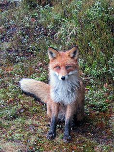 Red Fox by Walter Kosmos on Flickr