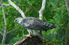 Harpy Eagle 2