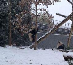 Cum reacţionează un pui de urs panda când vede prima dată zăpadă | virale.ro