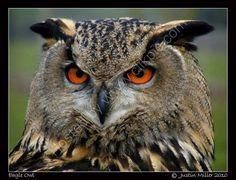 EAGLE OWL | Eagle Owl