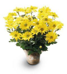 #Daisy Plant