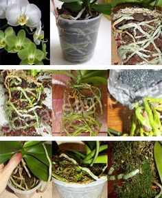 как правильно выращивать орхидеи