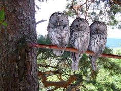 The same as the old owl Great Grey Owl, Owl Pictures, Owl Pics, Owl Always Love You, Beautiful Owl, Gray Owl, All Birds, Mundo Animal, Owl Art