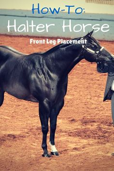 Halter Horse Training: How to teach your halter horse to set his front legs perfectly every time you go in the show arena.