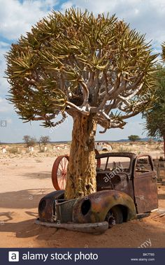 Stock Photo - A Quiver Tree Growing through an Old Vintage Car Wreck at the Fish River Canyon Canon Roadhouse, Namibia