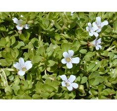 Brahmi and Gotu Kola are both herbs that improve memory and mind function. In South India Gotu Kola is also called Brahmi. Learn about the health benefits of Brahmi or Bacopa monnieri herb. Ayurveda, Ayurvedic Medicine, Herbal Medicine, Ayurvedic Herbs, Natural Medicine, Herbs List, Spider Plants, Plant Species, Plantar