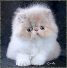 Persian cats are a lovable active breed. Persian cats are a lovable active breed. Cute Cats And Kittens, I Love Cats, Crazy Cats, Cool Cats, Kittens Cutest, Types Of Kittens, Persian Kittens, Ragdoll Cats, Tier Fotos