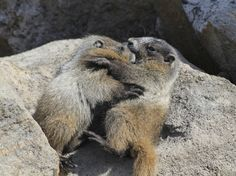 Deux petites marmottes des Rocheuses d'humeur câline. | 14 Photos D'animaux Canadiens Qui Illumineront Ta Journée