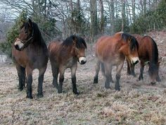 North Swedish horse horse breed information