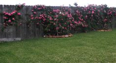 """For any of you considering investing in a climbing rose, but haven't decided which one....I totally recommend the """"Peggy Martin"""" rose (a.k.a. the Hurricane Katrina rose).  I was looking for something to cover my extremely long back fence so I purchased two of these.  The little bushes weren't more than a foot tall when I planted them.  This is a picture of my """"little"""" bushes now....only ONE YEAR later!!!  Can't wait to see them in a few more years!"""
