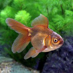 (国産金魚)茶金