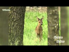 New videoclip in the StockShot PermaStore: NatureNotes: Roodwild Edelherten - Red Deer #02 >> http://youtu.be/mgj7ayxM27Y