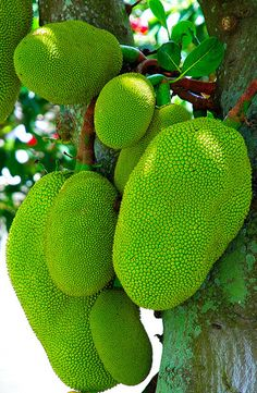JACK FRUIT   photo by Bob Pelkey