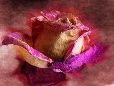 "Titulo: ""La rosa marchita"" Autor: Mª Mercedes Yañez García País: España Foro: ARTE DIGITAL http://blipoint.com/photographer/images_of_m-mercedes-yanez-garcia_23224"