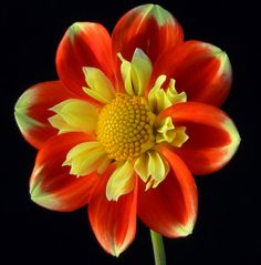 Pooh Dahlia/ATTRACTS: Butterflies.