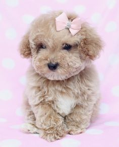 Toy Poodle Puppy Teacup and Toy Poodle Puppies & Teacup Puppies & Boutique Source by teacupspuppies The post Teacup and Toy Poodle Puppies Poodle Puppies For Sale, Teacup Puppies, Cute Dogs And Puppies, I Love Dogs, Doggies, Teacup Poodles, Beautiful Dogs, Animals Beautiful, Animals And Pets