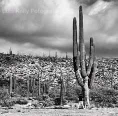 Cactus de Sta. Rosalía, Baja California.
