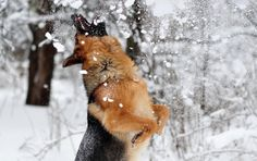 German Shepherd playing in the snow | HD Animals Wallpapers