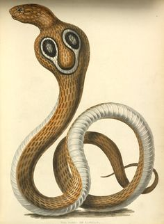 The Cobra de Capello or Hooded Snake of Hindostan. Plate seven from the first volume of James Forbes' Oriental Memoirs, 1813.
