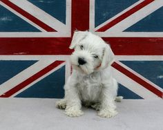 Salty, the white mini schnauzer pup
