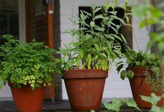 Tulehdukset häviävät yrteillä – yksi on ylitse muiden Salvia, Planter Pots, Healthy Living, Food And Drink, Health Fitness, Herbs, Garden, Tuli, Therapy