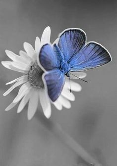 Blue butterfly holding on the white flower  daisy