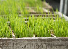 Healthy How-To: Sprouted Wheat Grass / shopterrain.com