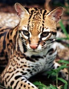 The Ocelots name came from the Mexican Aztec word tlalocelot, which means field tiger. Ocelots are endangered by illegal hunting, both for their furs and to capture them for exotic pets, and by loss of habitat. Without teeth for chewing, ocelots tear their food to pieces and swallow it whole.They vary in legth from 38 to 60 inches (including tail), yet only weight 20 to 35 pounds. (see next pic)