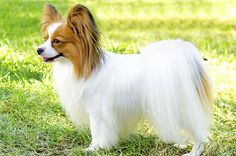 all dog facts research findings and behaviors of all breeds: PAPILLON DOG Very Cute Puppies, Cute Little Dogs, Cute Dogs, Tiny Dog Breeds, Best Dog Breeds, Best Dogs, Most Cutest Dog, Most Beautiful Dog Breeds, Dog Hotel