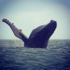 The awesome sight of a breaching female humpback whale near Golfo Dulce Retreat, Golfo Dulce, Costa Rica. Be part of the dream at Golfo Dulce Retreat www.gdretreat.com