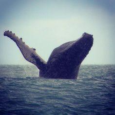The awesome sight of a breaching female humpback whale near Golfo Dulce Retreat, Golfo Dulce, Costa Rica. Be part of the dream at Golfo Dulce Retreat www.gdretreat.com