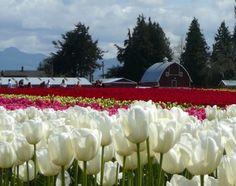 tulip time near LaConner