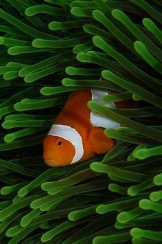 'Clown' by Underwater Photographer Keri Wilk ~~ An anemonefish in its home.