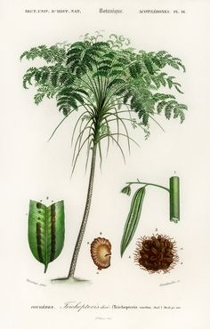 Free Public Domain   Trichipteris excelsa illustrated by Charles Dessalines D' Orbigny (1806-1876). Digitally enhanced from our own 1892 edition of Dictionnaire Universel D'histoire Naturelle.
