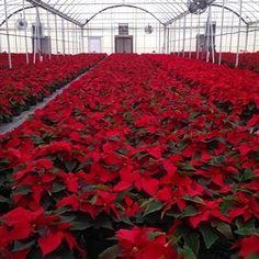 Red Poinsettias from Cros-B-Crest Farm, Staunton, VA