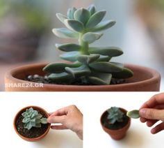 Propagation of Succulents by the Leaves! An Amazing Method … – Homedesign Ideas Grey Gardens Documentary, Starting A Vegetable Garden, Garden Angels, Gardening For Beginners, Potted Plants, Garden Pots, Organic Gardening, Outdoor Gardens, Cactus