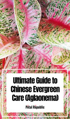 Here we'll take you through everything you need to know about Chinese Evergreen Care at home including potting and planting tips; the best soil mix and recipes; how to water, fertilize, prune, and propagate; and the ideal light and temperature considerations for your plant to truly thrive. Indoor Ferns, Outdoor Plants, Chinese Evergreen Plant, House Plant Delivery, Fiddle Leaf Fig Tree, Rubber Tree, House Plant Care, Money Trees, Plant Nursery