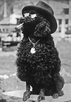 1928 A Standard Poodle celebrates after winning first prize at a dog show in Berlin.