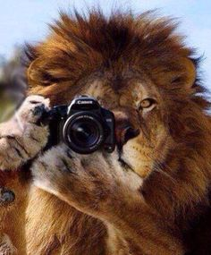 This is the only way you should be shooting me! - via International Animal Rescue Foundation World Action South Africa Animals And Pets, Funny Animals, Cute Animals, Image Portable, Trucage Photo, Pet Lion, Lion Love, Tiger Art, Lion Art