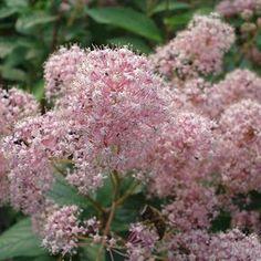 Céanothe pallidus Marie Simon. Arbuste à feuillage semi persistant, floraison rose tout l'été. #unjourunefleur