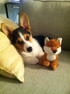 Tell me the story about the Corgi and the Fox. .