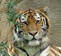 Siberian Tiger-Close Up by nellliz2000, via Flickr