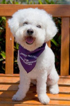 Embraced Bichon Frise, Mr Beau Jangles. Click to learn the health dangers for this breed.