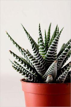 Haworthia: Placer dans une position claire à ensoleillée. Peut être placé à l'extérieur en été. Arroser en petite quantité; laisser le sol se dessécher entre les arrosages.