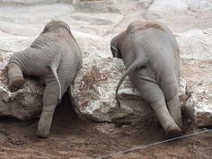 Two baby elephants slowly getting over the rocks in their way