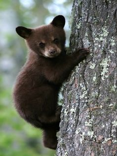Baby black bear so cute! Cute Baby Animals, Animals And Pets, Wild Animals, Small Animals, Forest Animals, Black Bear Cub, Young Animal, Bear Cubs, Grizzly Bears