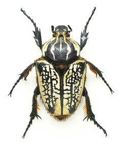 Beetle. Жук.